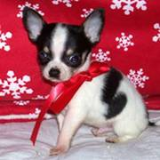 Tcup CHIHUAHUA PUP FOR SELL