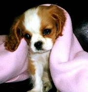 Cavalier King Charles Spaniel puppy for re homing